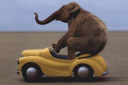 An Elephant Stuffed in a Car